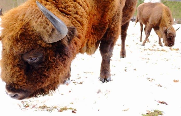 European bisons in Bialowieza