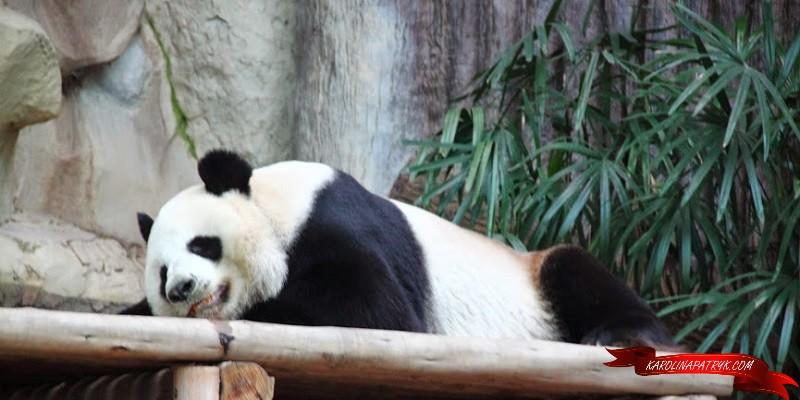 Panda in Chiang Mai zoo