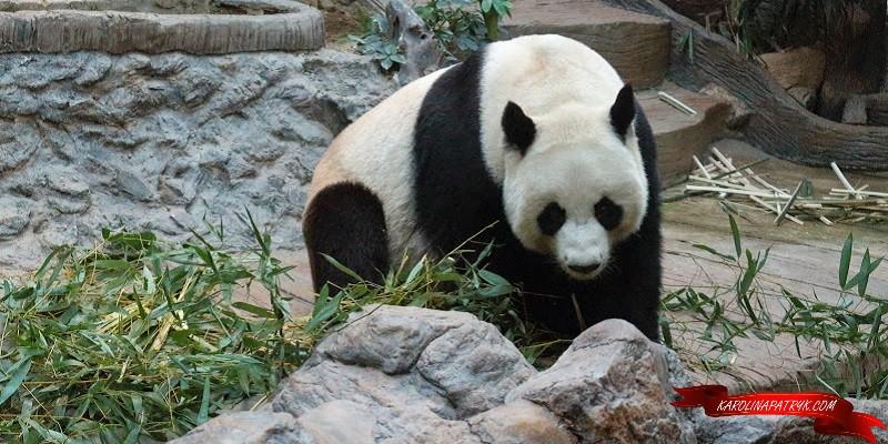 Cute panda in Chiang Mai zoo
