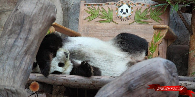 Lying Panda in Chiang Mai zoo