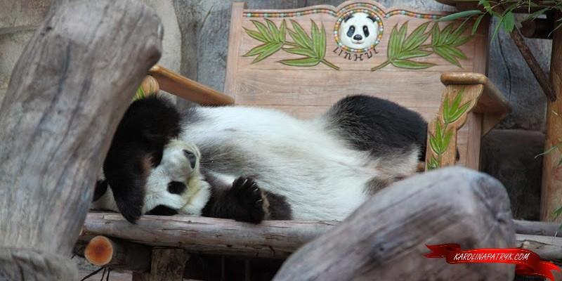Lying Panda in Chiang Mai zoo