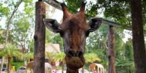 Funny giraffe in Chiang Mai zoo