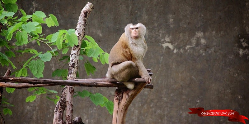 Stately monkey in Chiang Mai zoo