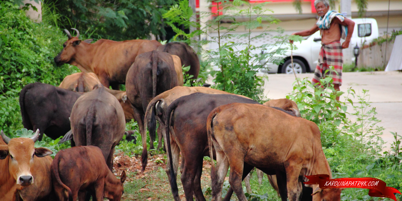Cows in Thailand