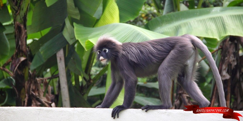 Monkey at Penang Hill