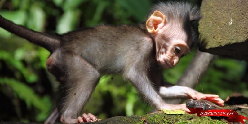Little monkey in Ubud Monkey Forest
