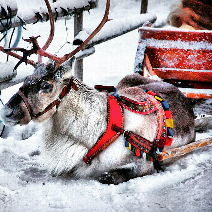 Reindeer at Santa Claus Village in Rovaniemi