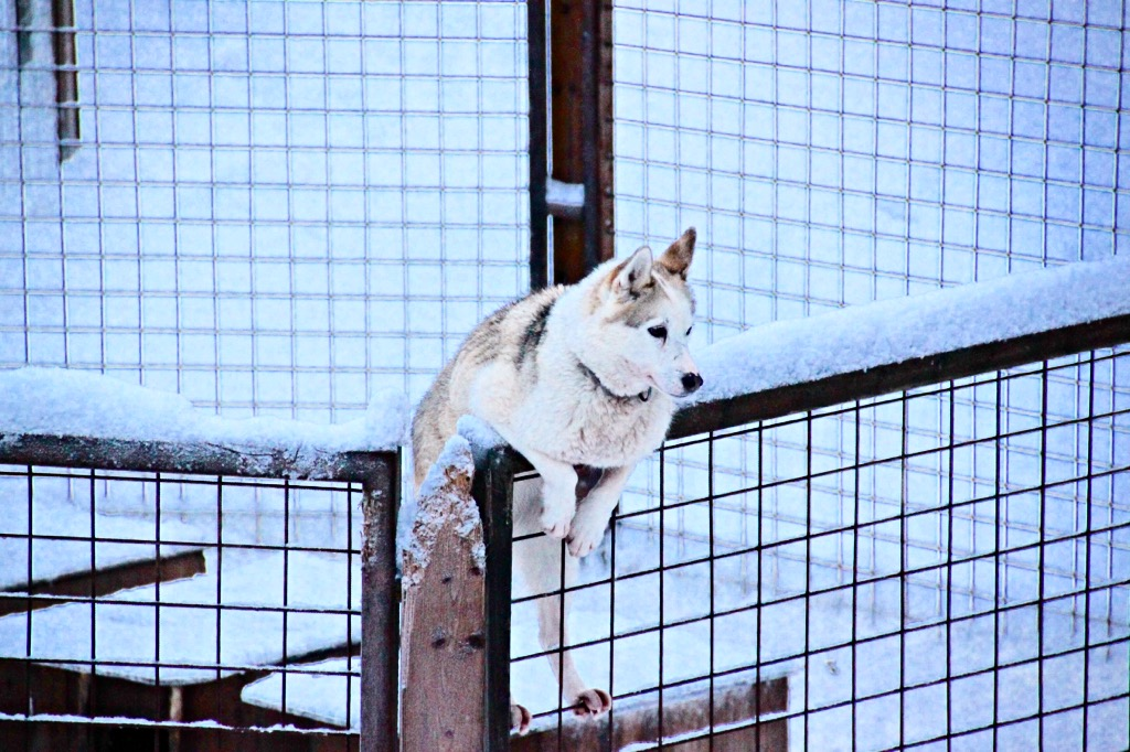 Husky dogs on the fence