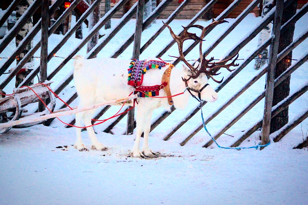 White reindeer at Rovaniemi Santa Claus Village