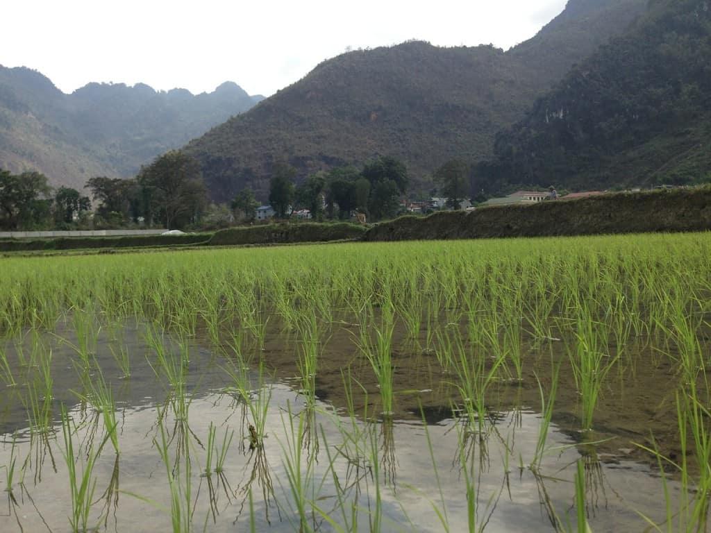Vietnam rice fields