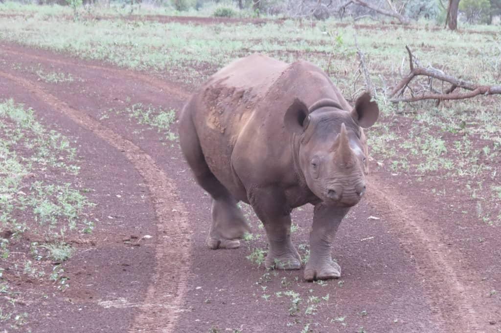 black rhino on road wanderwithjo.com