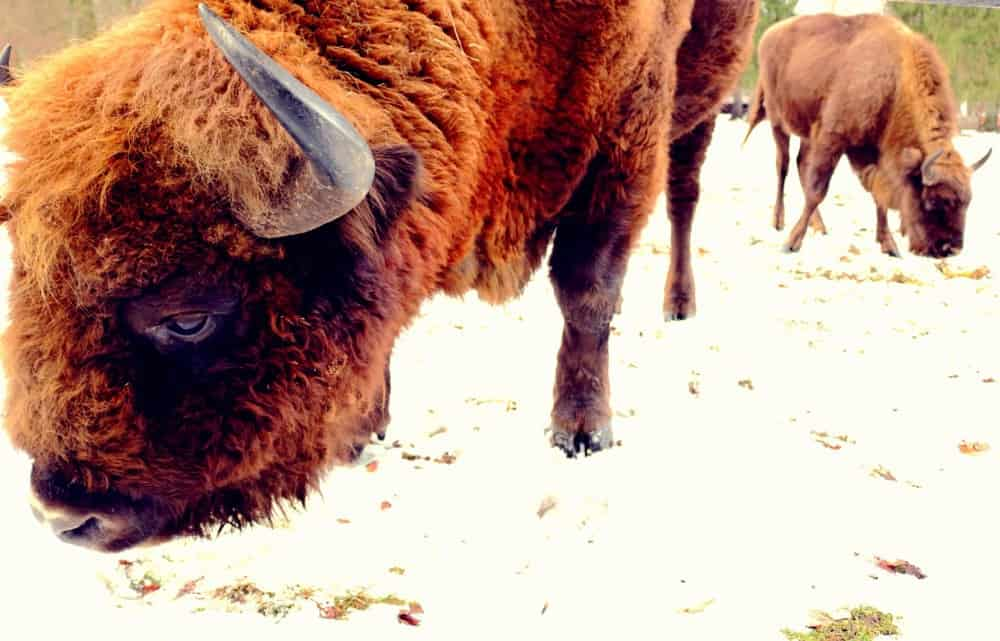 European bison Bialowieza Poland