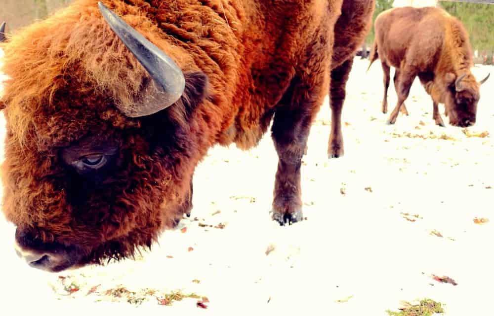 European bison Bialowieza Poland