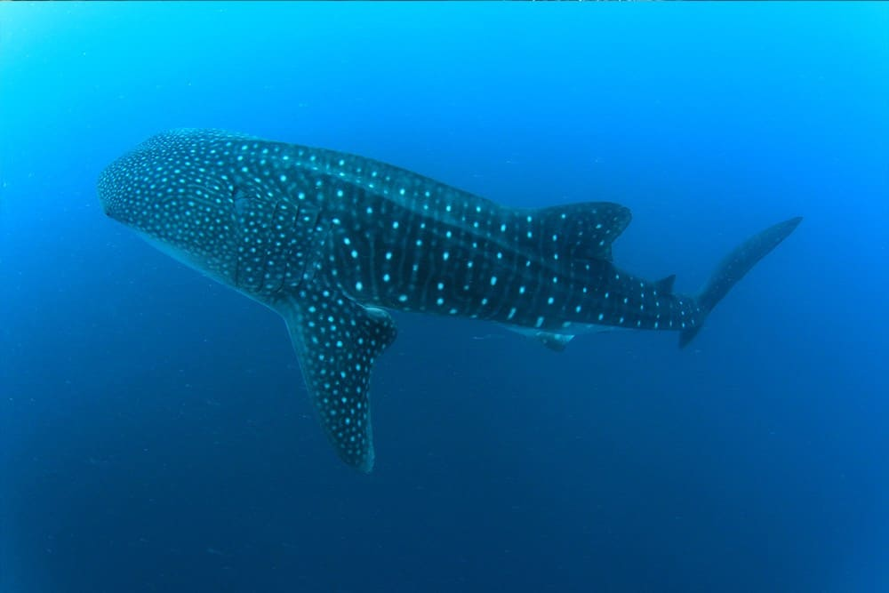 WhaleShark from Bianca