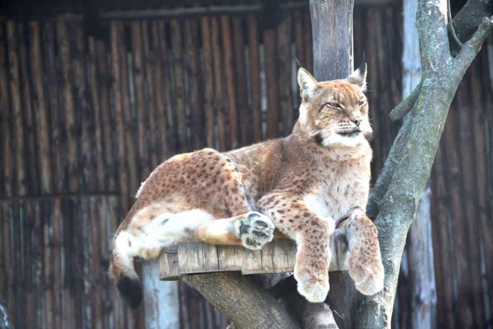 Lynx in Zamosc zoo