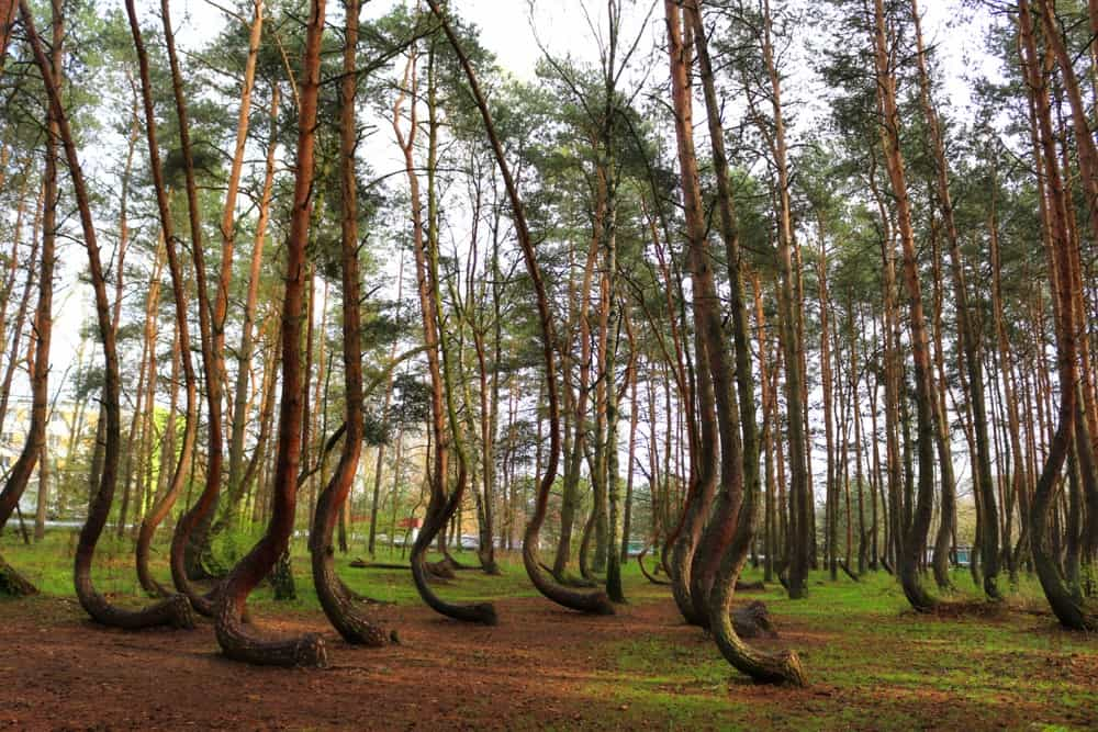 weird trees Poland