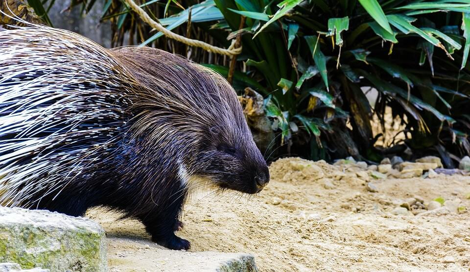 It's illegal to have sex with a porcupine