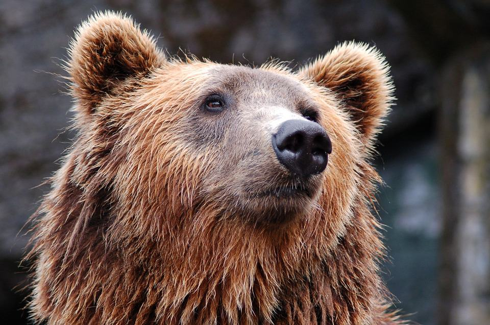 60% of Europe's brown bears are in Romania