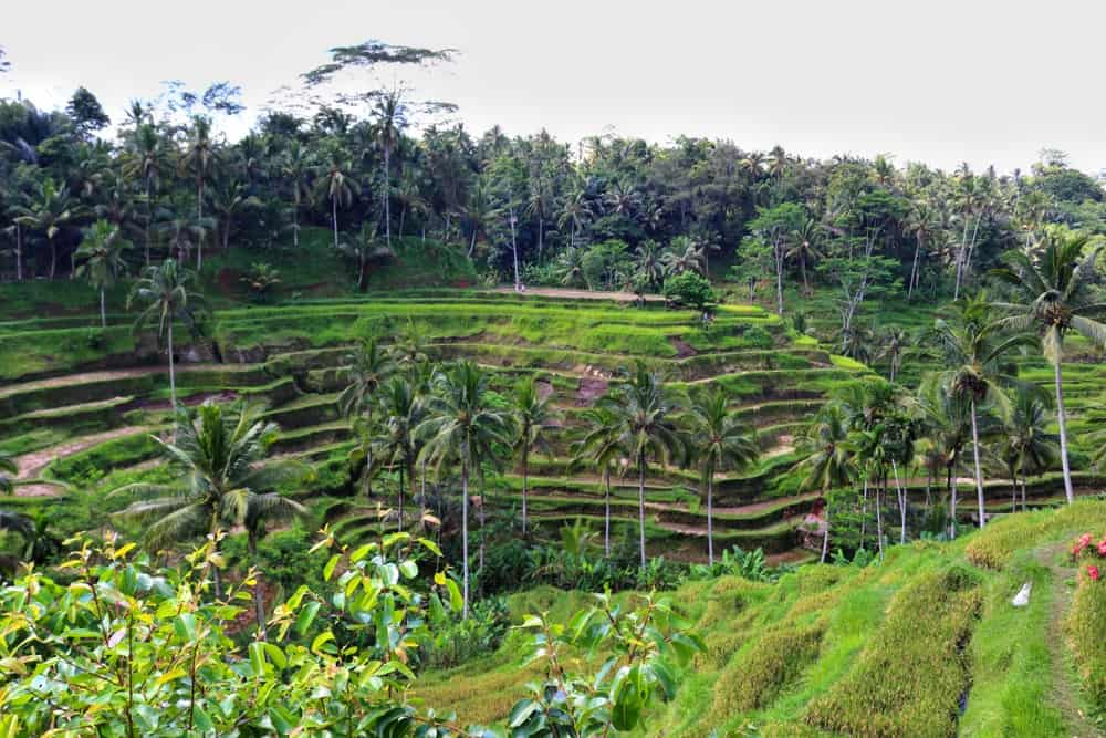 Rice Terrace Tegalalang