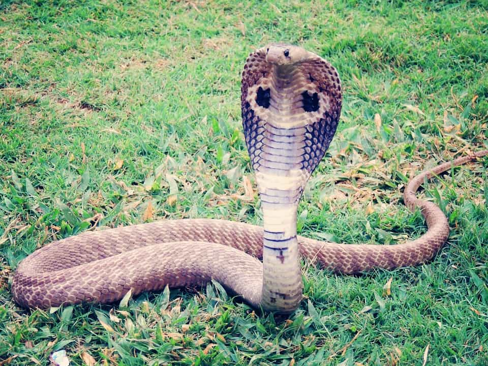 Malaysia Interesting Facts: The country has many poisonous snakes